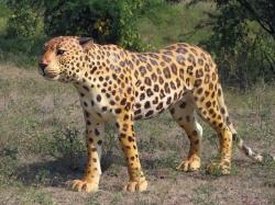 Fiber Rhino Statue Cheetah.- Indoor & Outdoor - Made of Fiber
