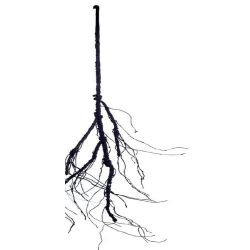 53 Inch - Artificial Roots - Flower Decoration - AF - 731 - Brown Color